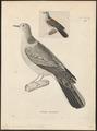 Turtur dussumieri - 1700-1880 - Print - Iconographia Zoologica - Special Collections University of Amsterdam - UBA01 IZ15600417.tif