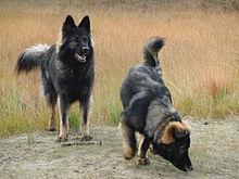 Old German Shepherd Dog Wikipedia