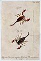 Two scorpions; Scorpio rufus and Scorpio concinnus. Coloured Wellcome V0022397ER.jpg