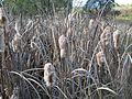 Typha orientalis flowerhead10 NT - Flickr - Macleay Grass Man.jpg