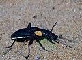 Tyrant ground Beetle (Anthia thoracica) male (13913990106).jpg