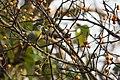 Uday Kiran YellowFooted Green Pigeon.jpg