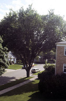 Ulmus americana Madison - Harvey st..jpg