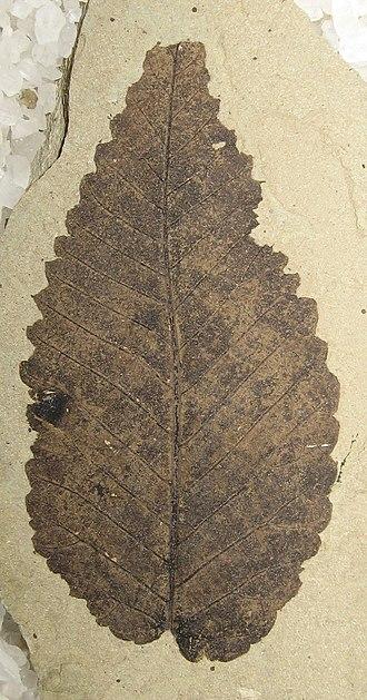 2005 in paleontology - Ulmus okanaganensis