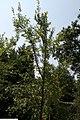 Ulmus parvifolia Emer II 7zz.jpg