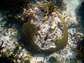 Under the sea at Dry Tortugas National Park (6022401566).jpg