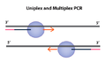 Uniplex and multiplex PCR.png