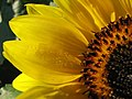 Up Close With A Sunflower With Dew Drops (191797519).jpg