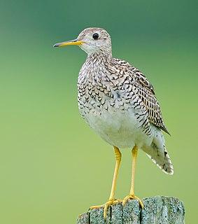 Upland sandpiper species of bird