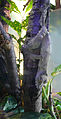 Uroplatus fimbriatus (2).jpg