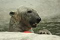 Ursus maritimus at the Bronx Zoo 016.jpg