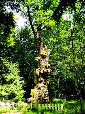 Найстаріше дерево України - дуб