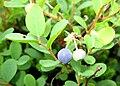 Vaccinium uliginosum Japan2.JPG