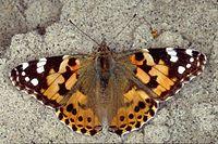 papillon symtrique vanesse