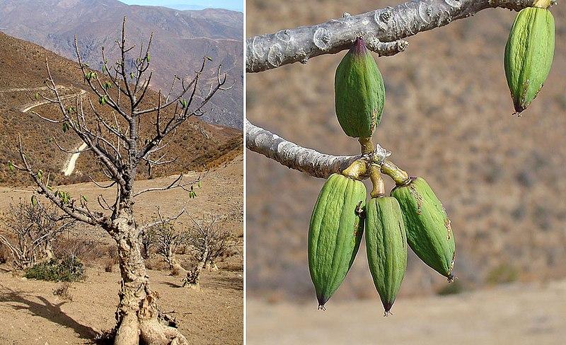 File:Vasconcella candicans, Caricaceae (8649393064).jpg