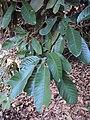 Vateria indica 16.JPG
