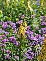 Verbascum thapsus Dziewanna drobnokwiatowa 2015 01.jpg