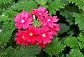 Verbena canadensis Aztec Wild Rose 0zz.jpg
