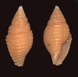 <i>Pseudonebularia doliolum</i> species of mollusc