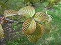 Viburnum betulifolium 2017-04-17 7473.jpg