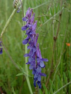 Vicia cracca2.jpg