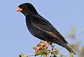 Village indigobird, Vidua chalybeata, at Mapungubwe National Park, Limpopo, South Africa (male) (18038003451).jpg
