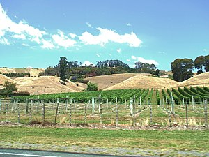 Havelock North - Vineyard on Te Mata Road during summer