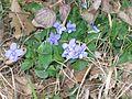 Viola riviniana-Salzburg, Flachgau, Henndorf, Graben-bE-HdN-1574a.jpg