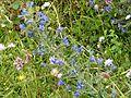 Viper's Bugloss. Echium vulgare - Flickr - gailhampshire.jpg
