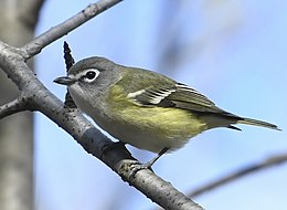 Vireo solitarius Sam Smith Park Toronto.jpg