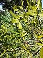 Viscum laxum subsp. laxum sl3.jpg