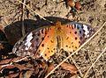 Vlinder korea.jpg