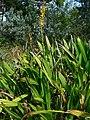 Wachendorfia thyrsiflora 1.jpg