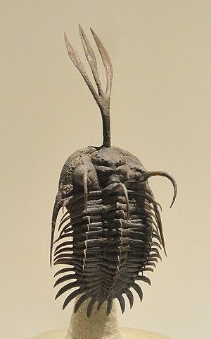 Walliserops - Walliserops trifurcatus