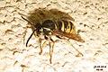 Wasp (NH266) (14523945451).jpg