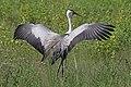Wattled crane (Grus carunculata) displaying wings.jpg