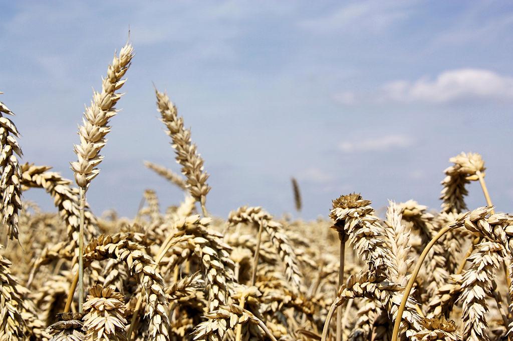 Un campo di glutine. Uhm, volevo dire, di grano.