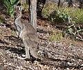 Western Grey Kangaroo at roadside.jpg