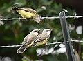 Western Kingbird (fledges and parents) (42714207895).jpg