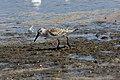 Western Sandpiper (Calidris mauri) (6097782280).jpg