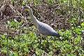 Whistling Heron (Syrigma sibilatrix) (8077524717).jpg