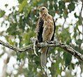 Whistling Kite (Haliastur sphenurus) (31318266506).jpg