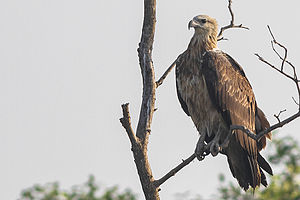 White-bellied sea eagle - A juvenile from Sundarbans National Park, West Bengal, India.