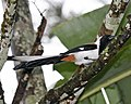 White-bellied Treepie (Dendrocitta leucogastra) - Flickr - Lip Kee.jpg