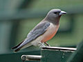 White-breasted Woodswallow SMTC.jpg