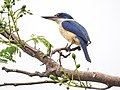 White-collared Kingfisher (31946780576).jpg