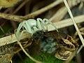 White-death Crab-spider (Misumena vatia).jpg