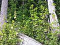 White-flowered Rhododendron - Flickr - brewbooks.jpg