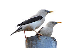 White-headed starling (Sturnia erythropygia) May 2013 Neil Island Andaman.jpg