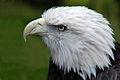 White-tailed eagle.jpg